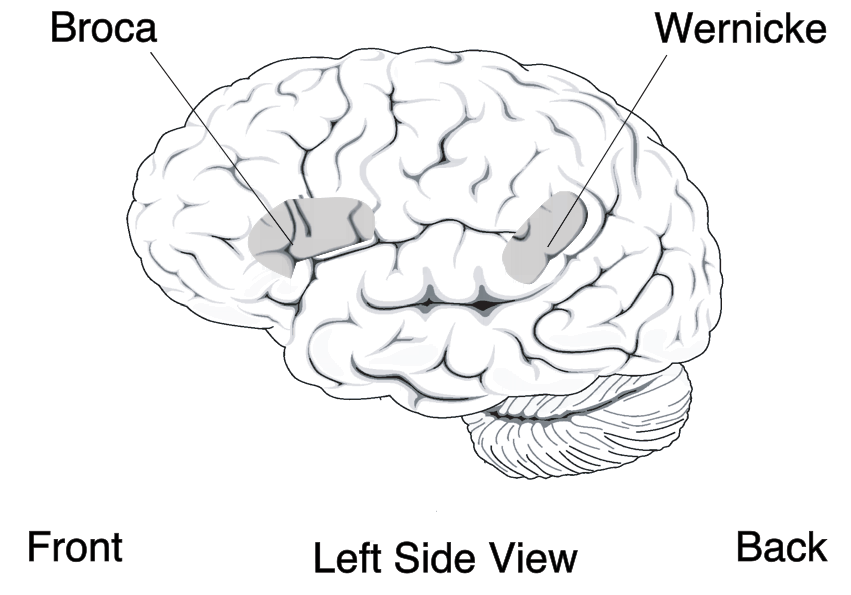 Broca's and Wernicke's area of the human brain