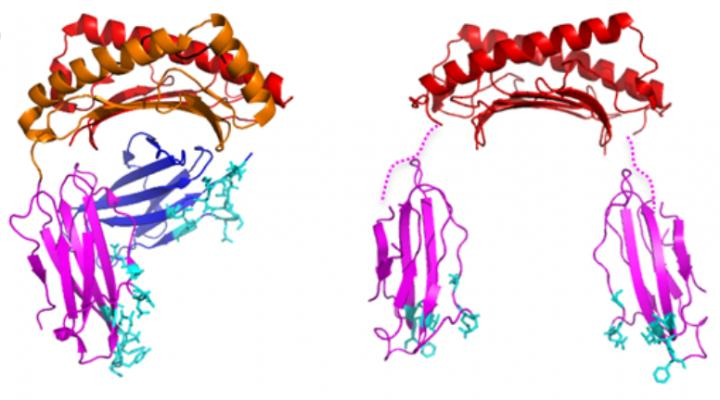 HLA-G1 protein and a HLA-G2 protein