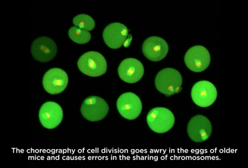 Chromosome segregation in mouse eggs