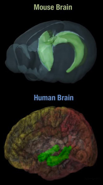hippocampus mouse - human