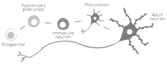 Neuron development into maturation><br><br>  <dfn>• During neocortical development in the fetus, neurons are born deep within the brain from repeated cell divisions of <em>neural progenitor cells</em>.<br><br>   •<em>Subplate neurons</em> are the first neurons born in the neocortex, and they form a layer called the subplate layer. Below: MRI images of fetal subplate (dark grey) at 23 and 27 weeks post gestation.<br><br>  <img src=